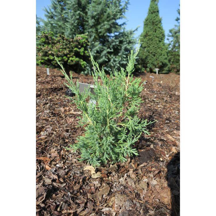 Juniperus virginiana 'Taylor'