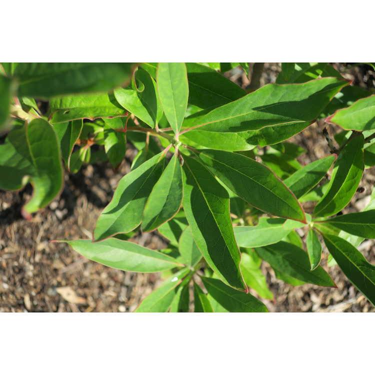 Elliottia racemosa - Georgia plume