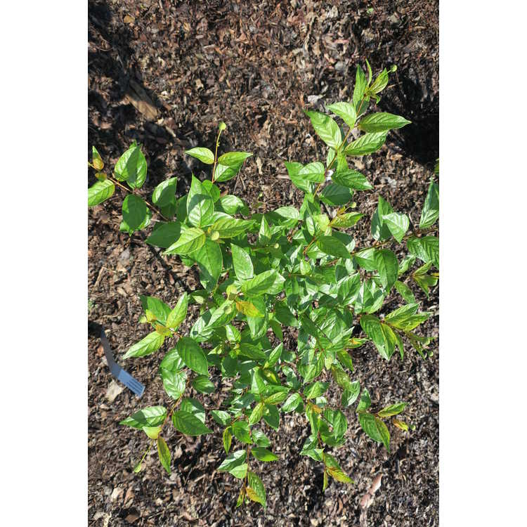 Cephalanthus occidentalis 'Bailoptics'