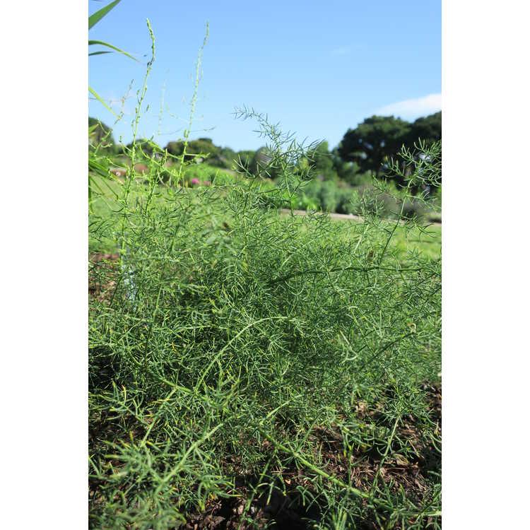 Asparagus schoberioides
