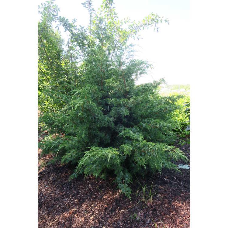 Juniperus chinensis 'Sylvestris'