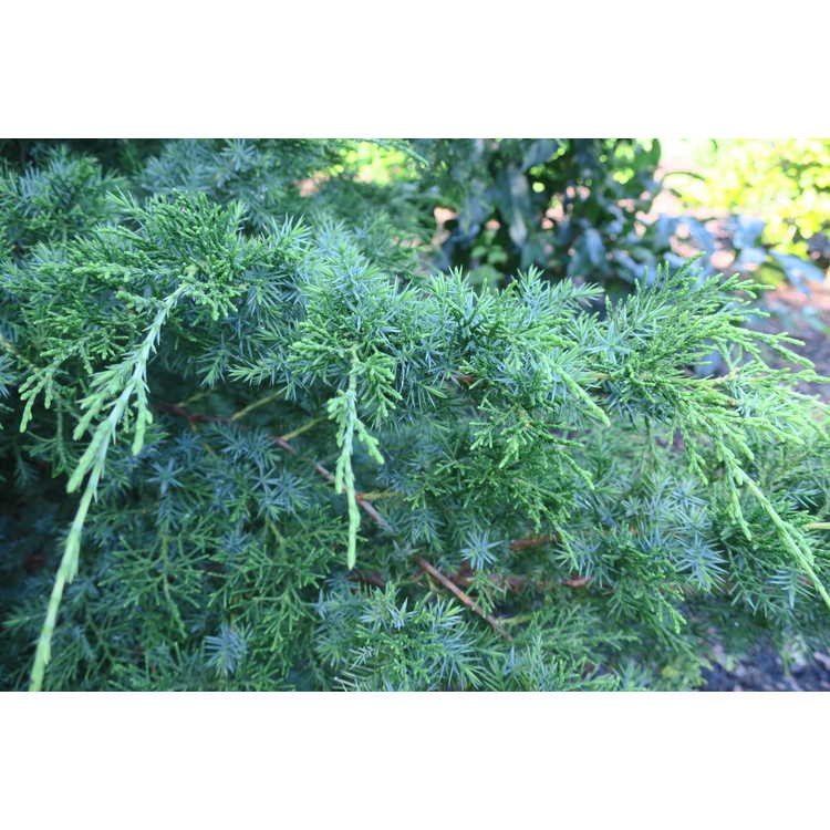 Juniperus chinensis 'Sylvestris'
