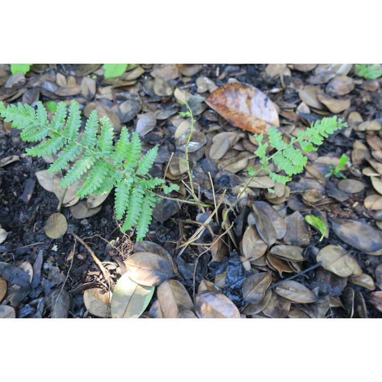 Thelypteris acuminata 'Cristata'