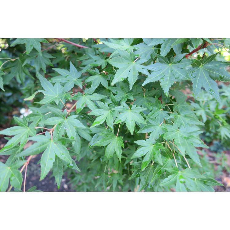 Acer palmatum 'Gold Digger'
