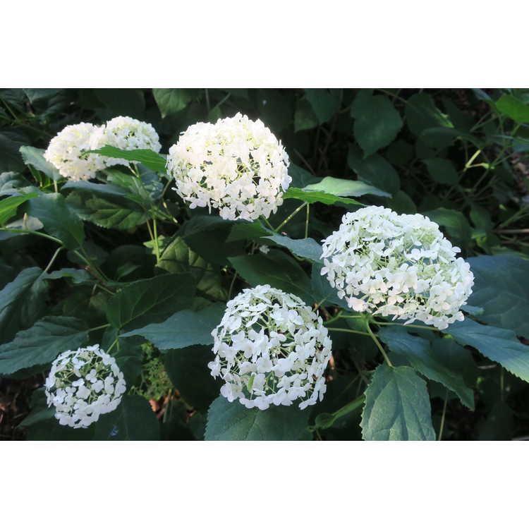 Hydrangea arborescens arborescens