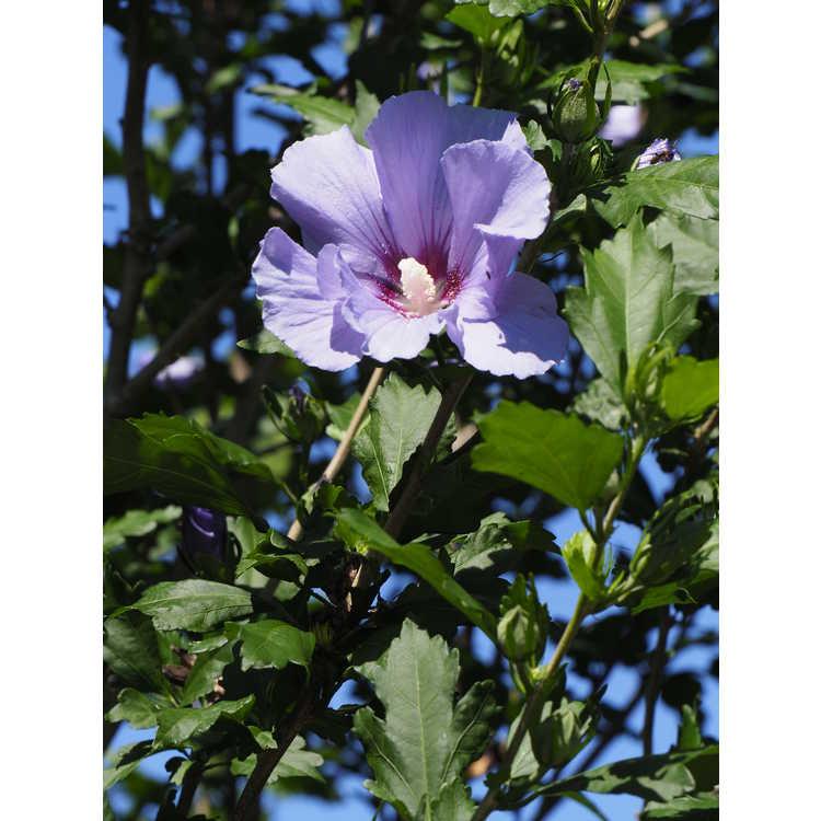 Hibiscus syriacus Marina Blue Satin