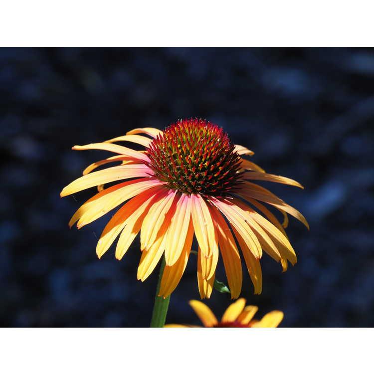 Echinacea 'Flame Thrower'