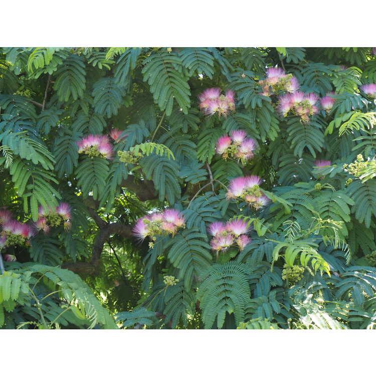 Albizia julibrissin 'Ishii Weeping' - weeping mimosa