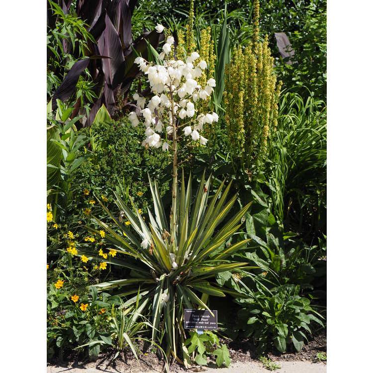 Yucca flaccida 'Gold Heart' - gold-stripe weak-leaf yucca
