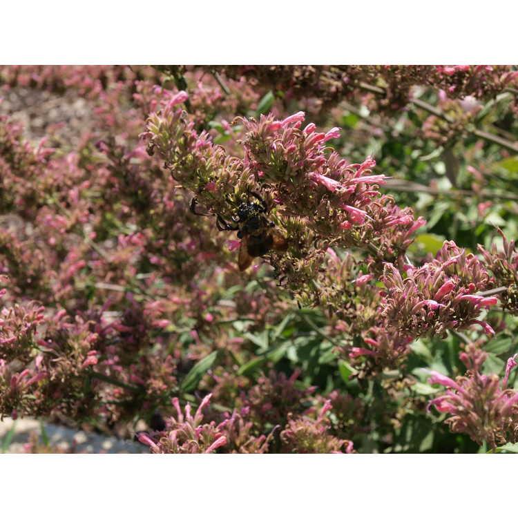 Agastache 'Morello' - hummingbird mint