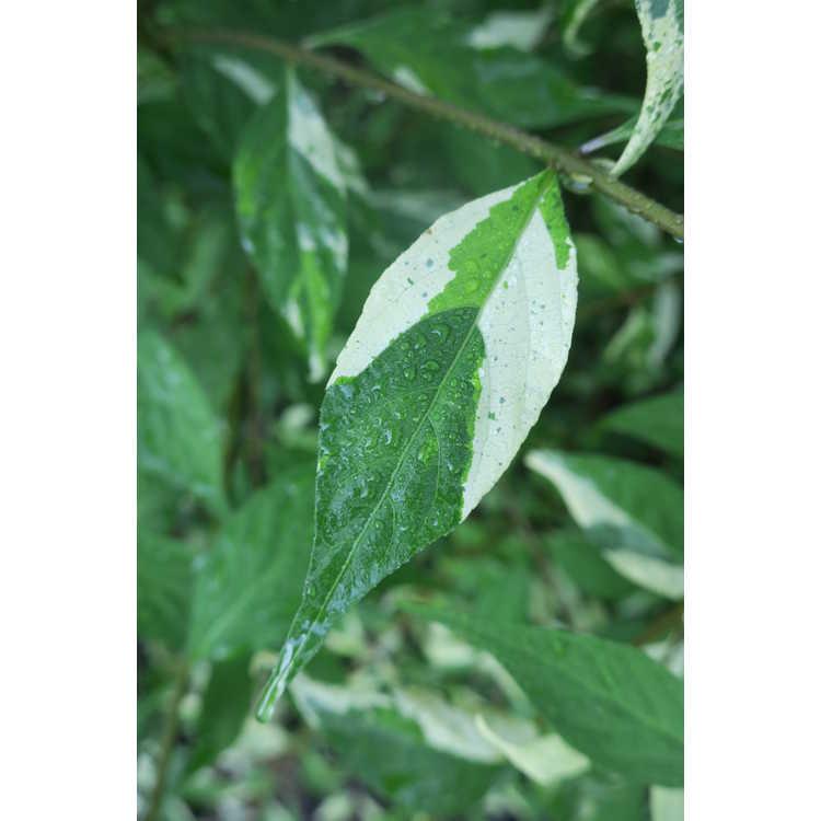 Callicarpa japonica 'Inagali'