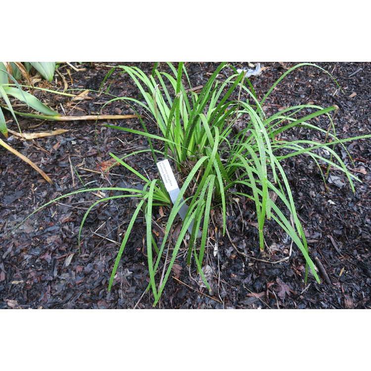 Lomandra longifolia 'Katrinus Deluxe'