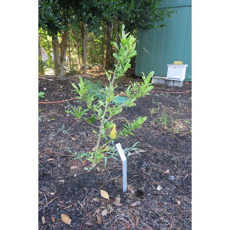 Magnolia stellata 'Star Dust'