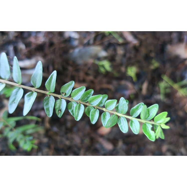 Lonicera nitida 'Maigrün' - May Green box honeysuckle