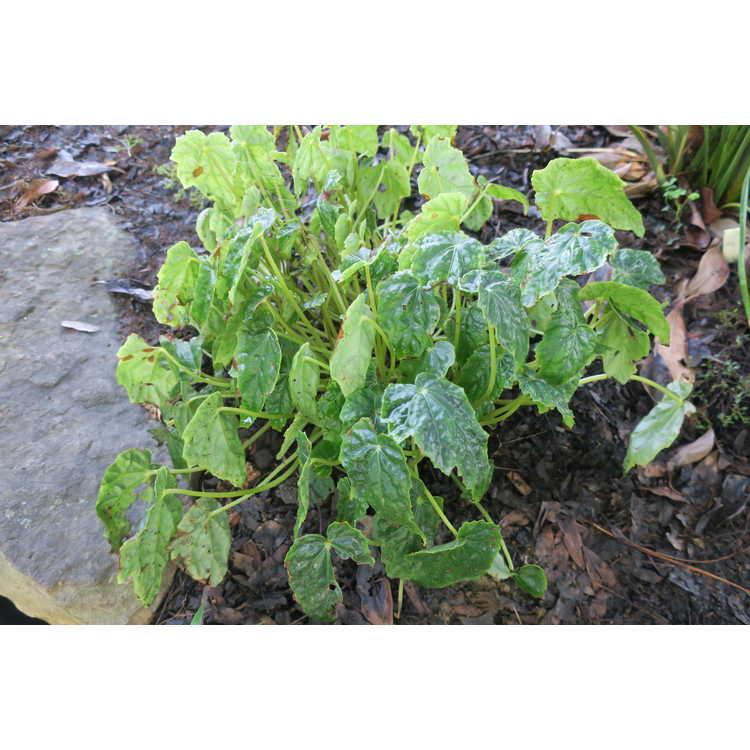 Begonia aff. taipeiensis - Taipei begonia