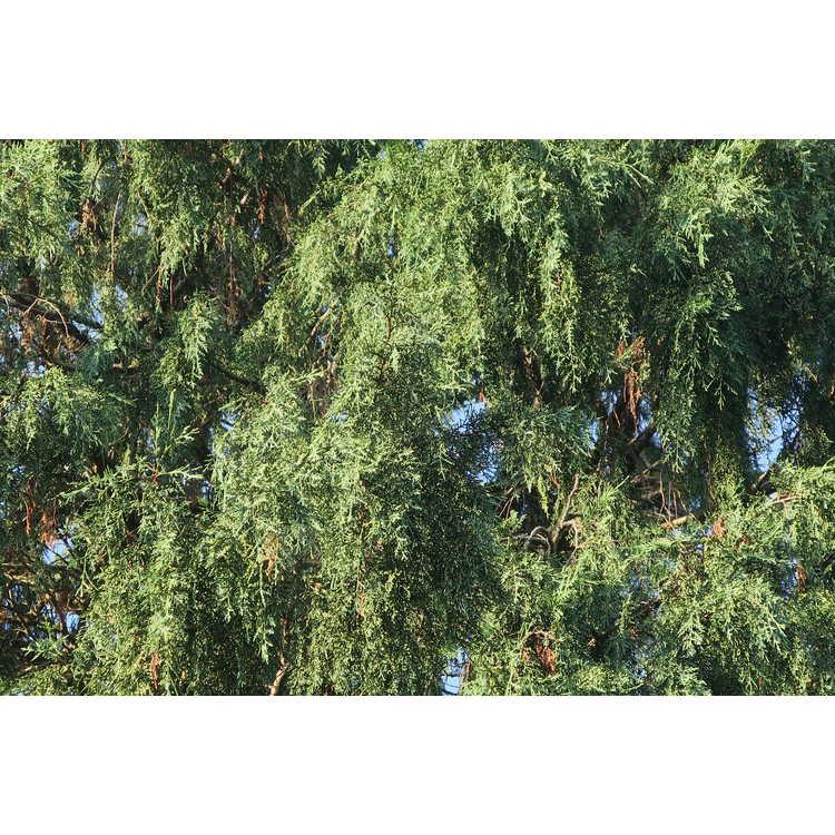 ×Cuprocyparis leylandii 'Green Spire'