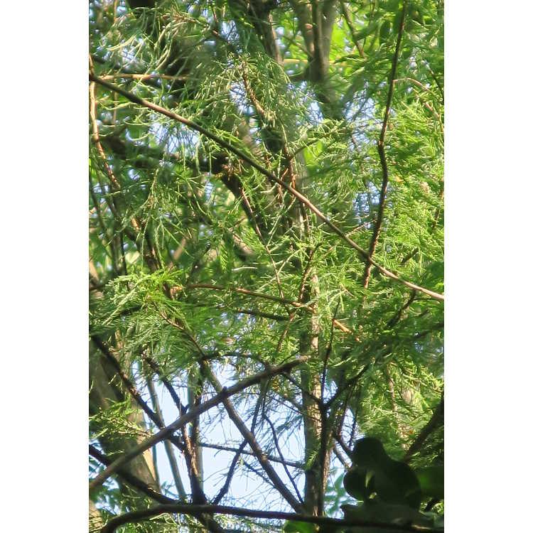 Taxodium distichum var. imbricatum 'Prairie Sentinel'