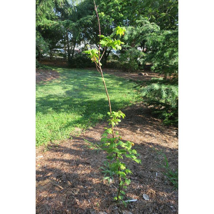 Acer circinatum 'Hs12'