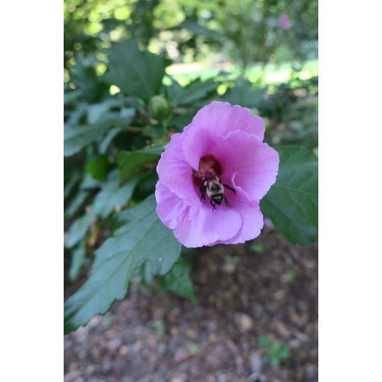 Hibiscus syriacus 'Floru' - Violet Satin rose-of-Sharon