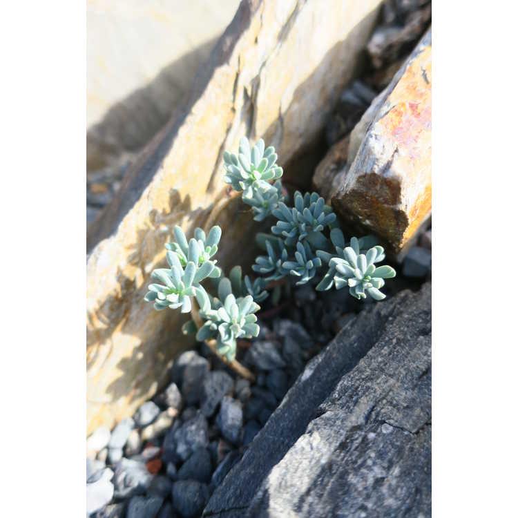 Aethionema schistosum