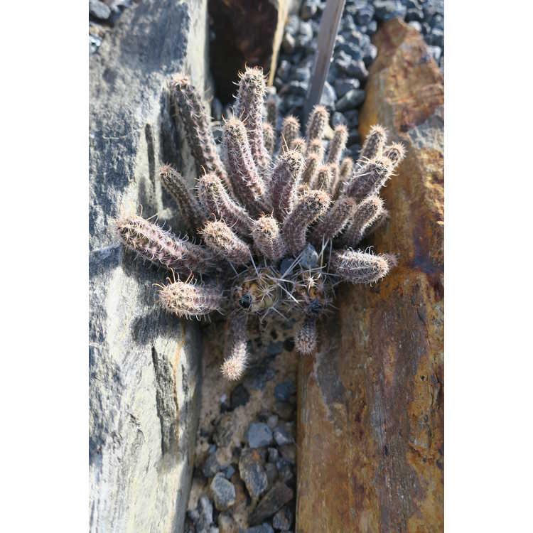 Austrocactus aff. philippii