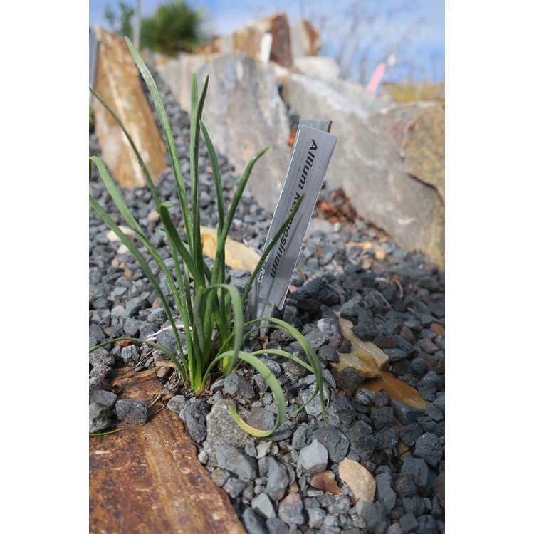 Allium kermesinum