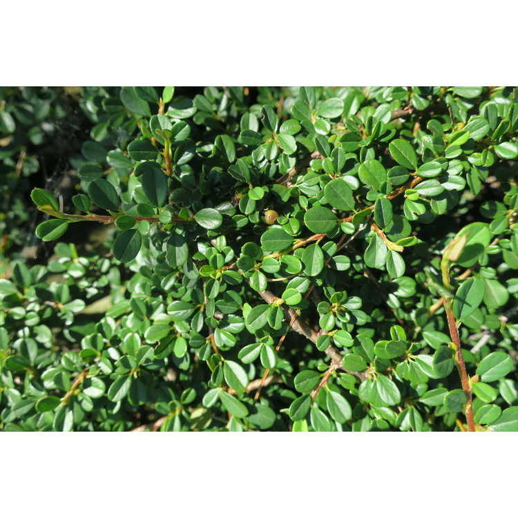 Cotoneaster dammeri 'Streib's Findling' - bearberry cotoneaster