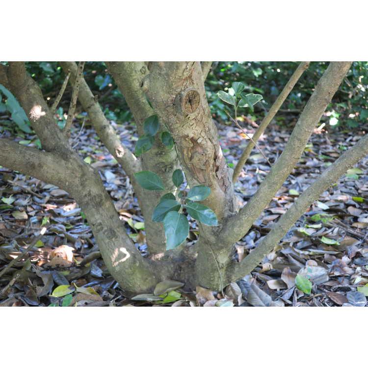 Ligustrum japonicum 'Silver Stars' - variegated Japanese privet