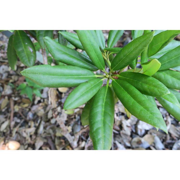 Rhododendron 'Lisenne Rockefeller'