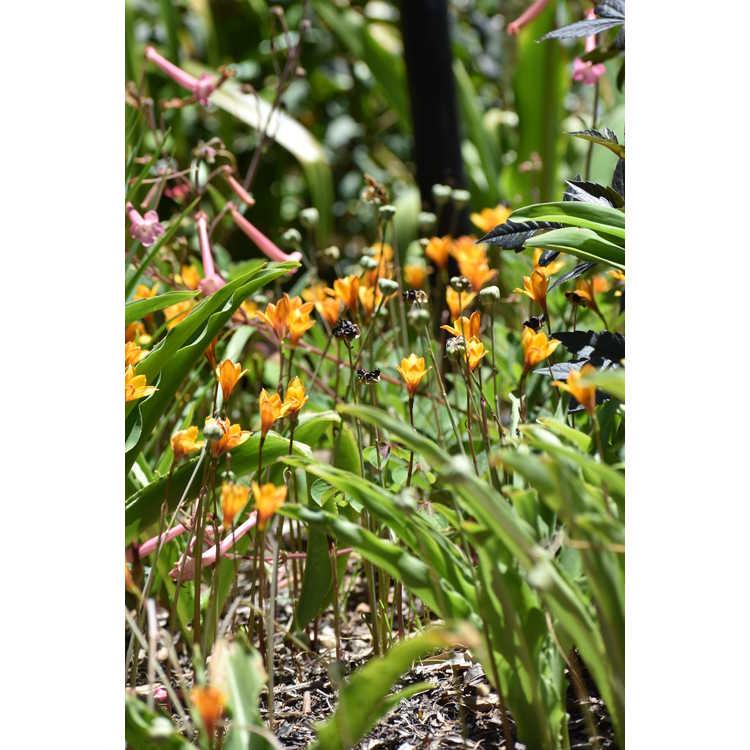 Habranthus tubispathus texanus