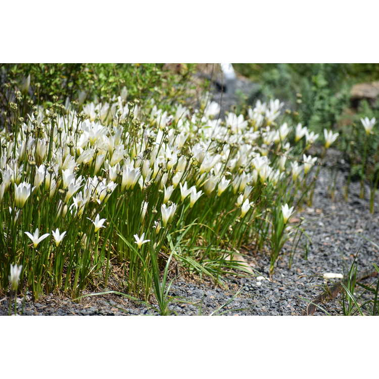 Zephyranthes commersoniana