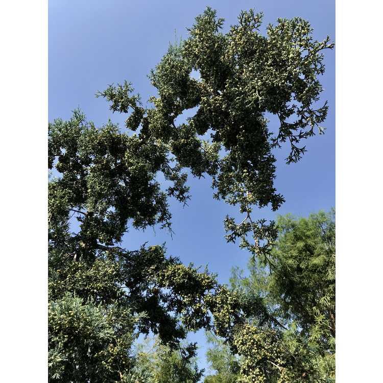 Chamaecyparis thyoides 'Tom's Blue' - Atlantic white-cedar