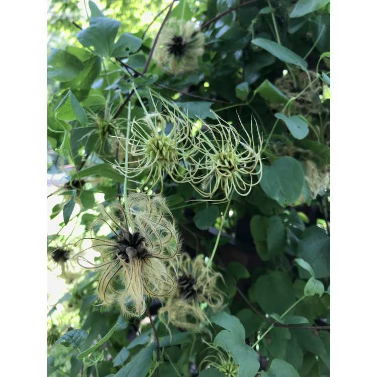 Clematis reticulata × C. texensis