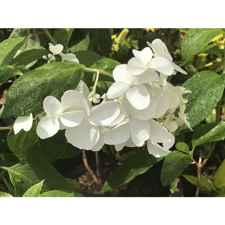Hydrangea paniculata 'Wrhpbb2'