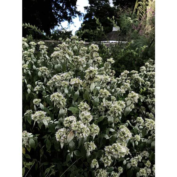 Pycnanthemum loomisii