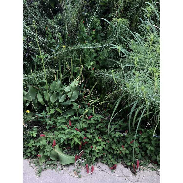 Acalypha pendula - creeping chenille plant