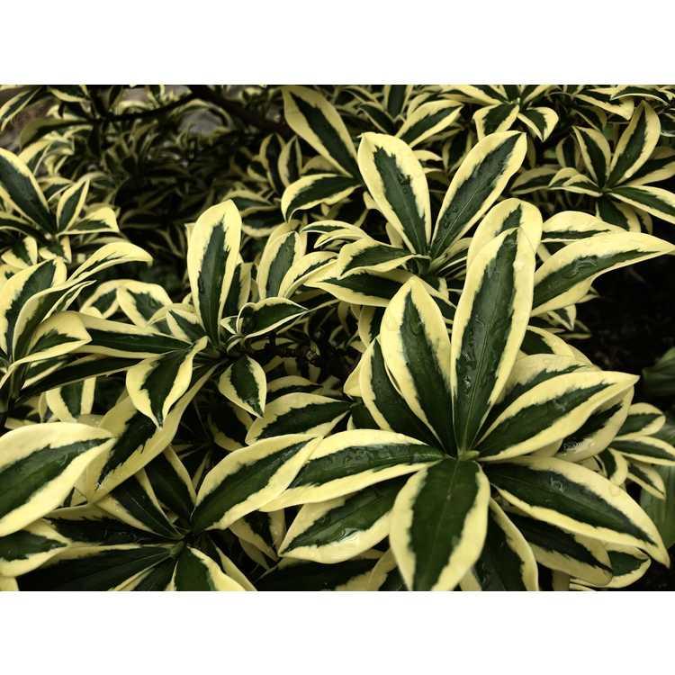 Daphne odora 'Mae-jima' - variegated winter daphne