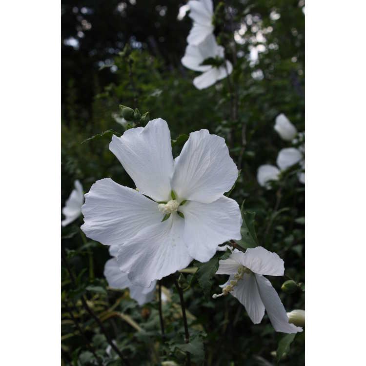 Hibiscus syriacus 'Diana' - rose-of-Sharon