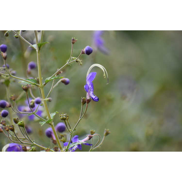 Caryopteris divaricata 'Blue Butterflies' - bluebeard