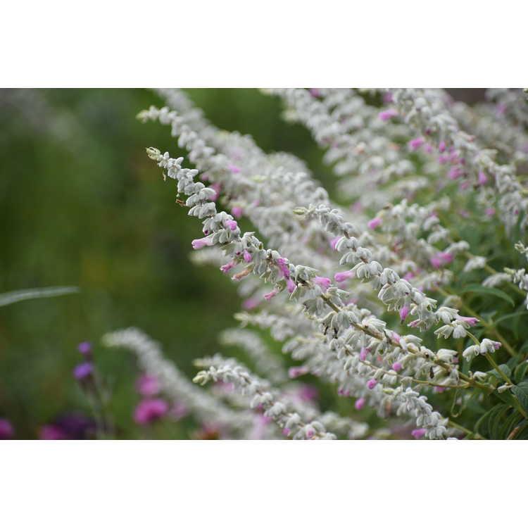 Salvia leucantha 'Ferpink' - Danielle's Dream Mexican bush sage