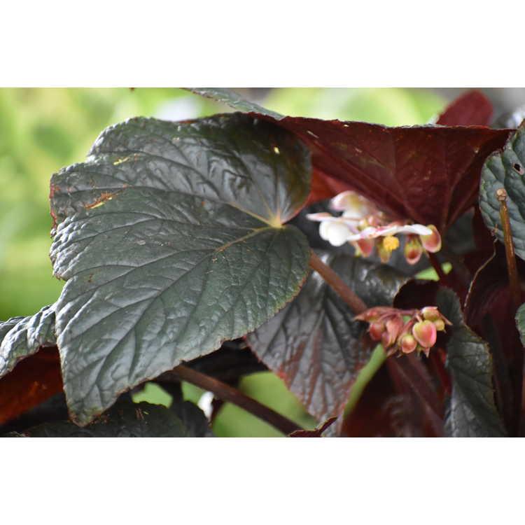 Begonia 'Cotes de Castillon'