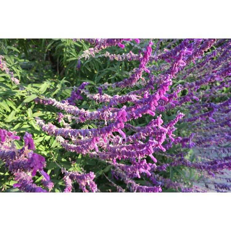 Salvia leucantha 'Midnight' - Mexican bush sage