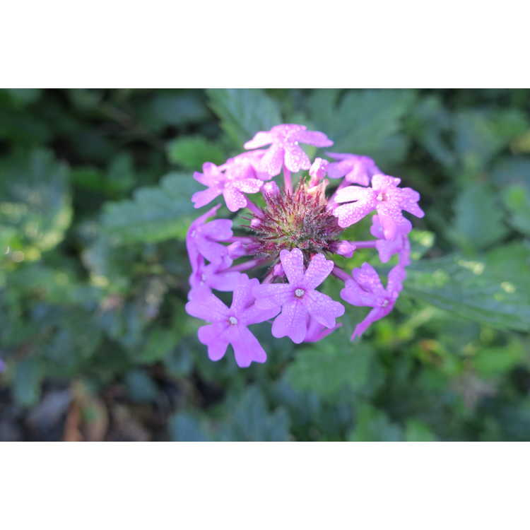 Glandularia canadensis - verbena
