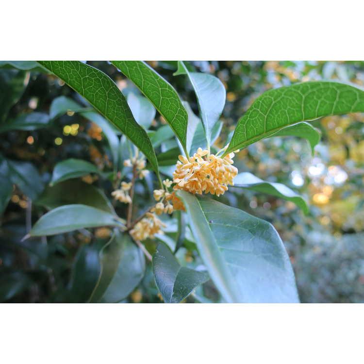 Osmanthus fragrans var. thunbergii - Japanese sweet-olive