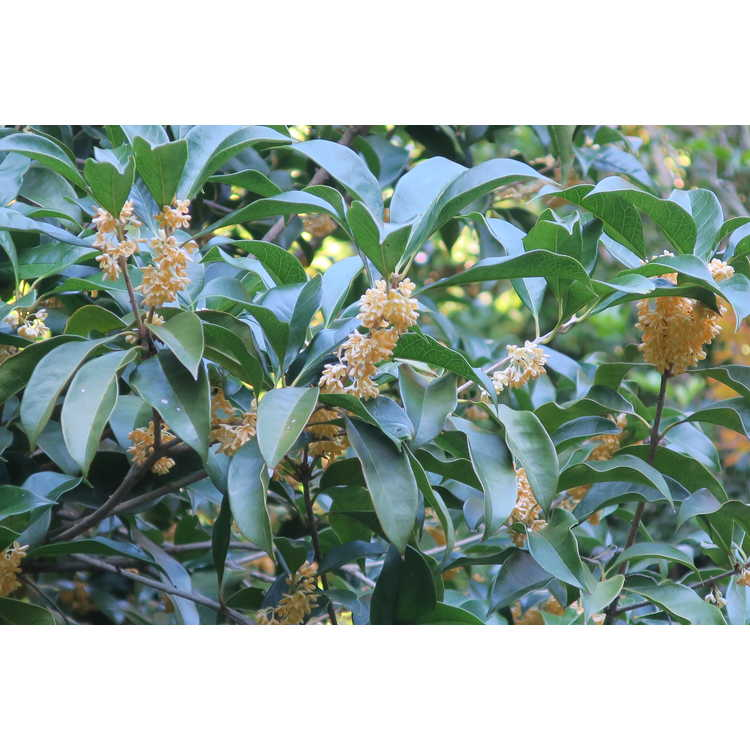 Osmanthus fragrans thunbergii