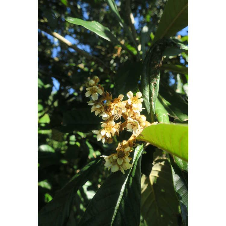 Eriobotrya japonica 'Coppertone' - loquat