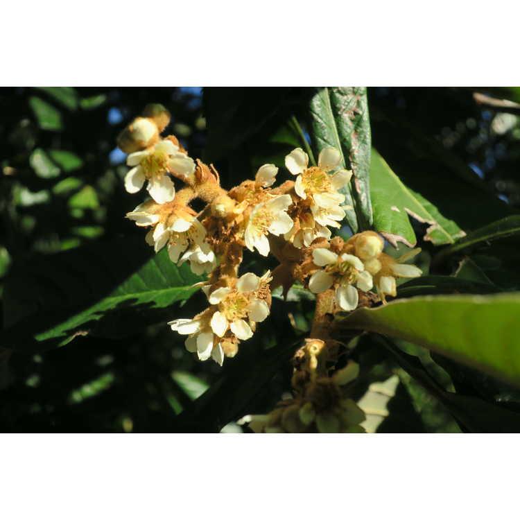 Eriobotrya japonica Coppertone