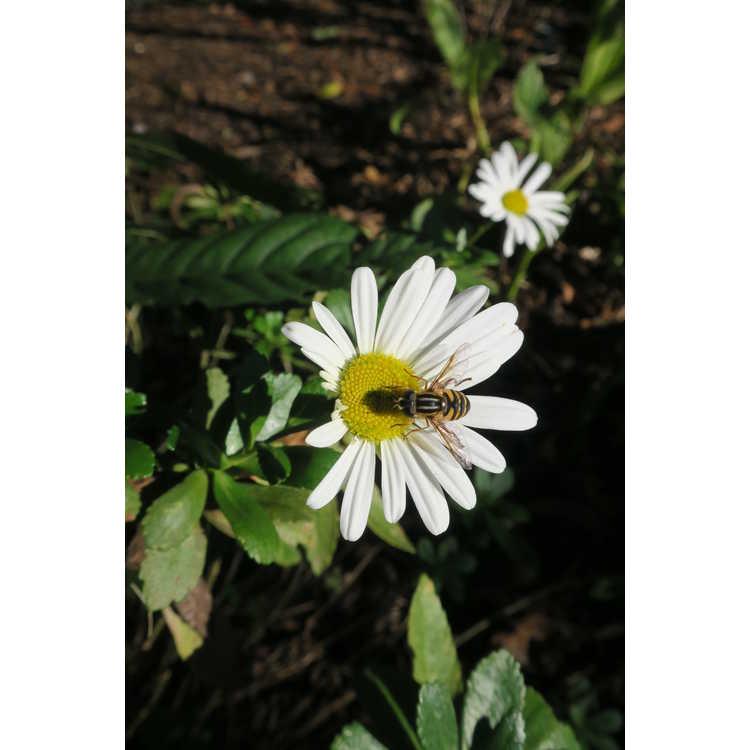 Nipponanthemum nipponicum - Nippon daisy