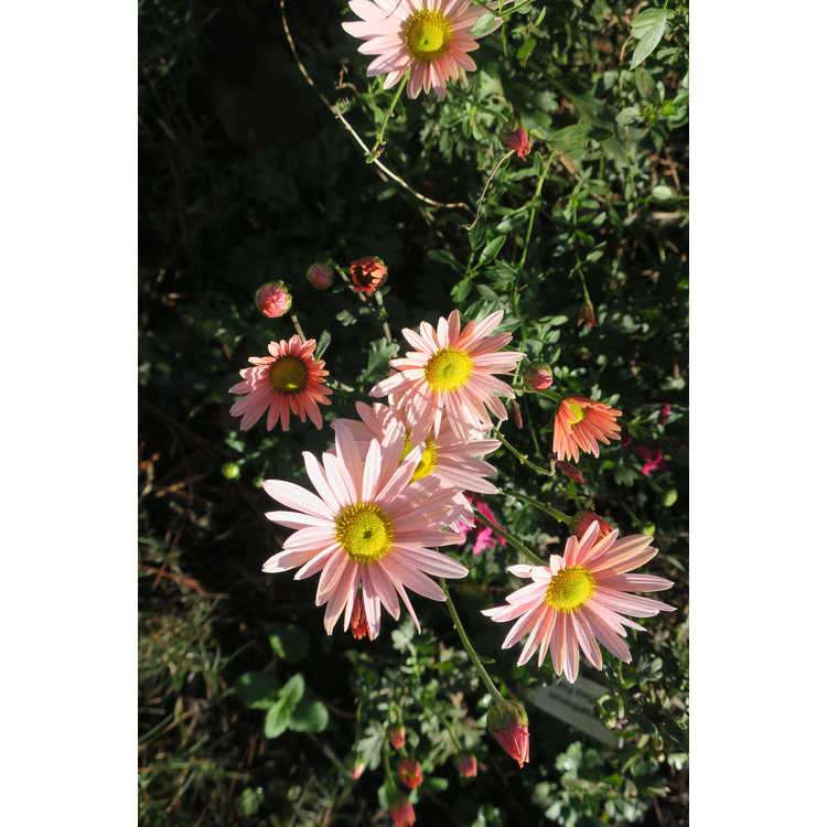 Chrysanthemum 'Sheffield Pink'