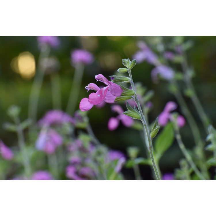 Salvia greggii 'Sky Blue Pink'